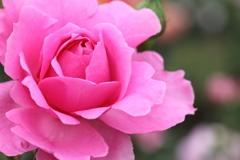 薔薇 彩々 XIV