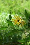 菊いもの花。。