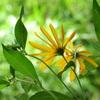 菊芋(きくいも)の花。。