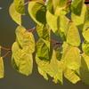 桂の葉。。2