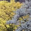 桜と。。萌え木。。