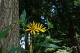 菊芋の花。。