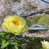 鎌倉-536