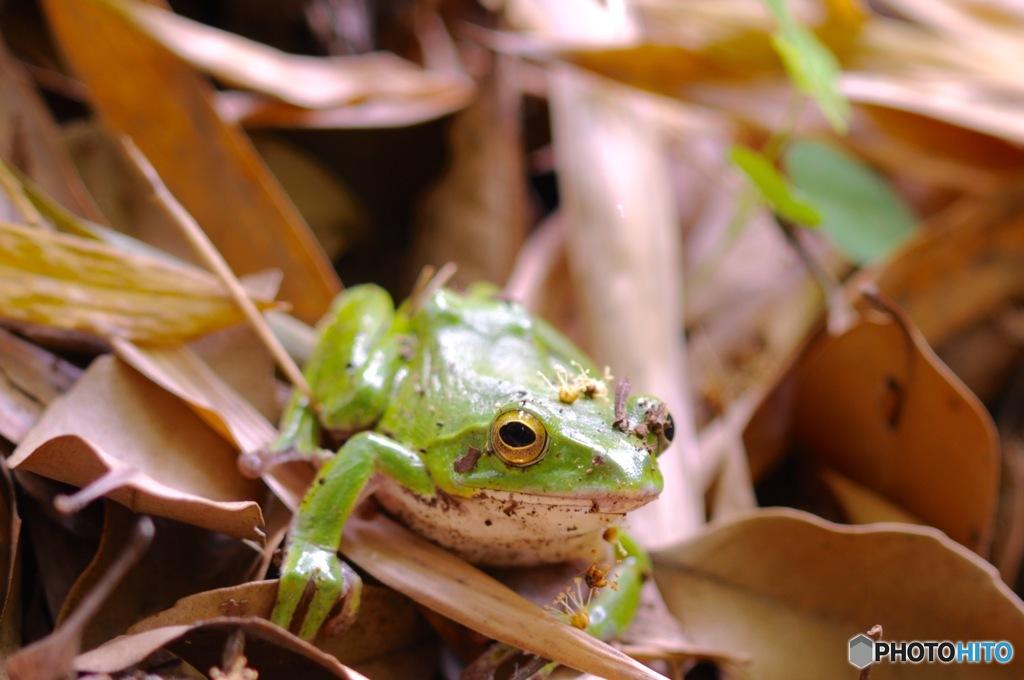 シュレーゲル・青蛙