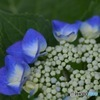 連作 紫陽花