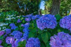 晴天の紫陽花