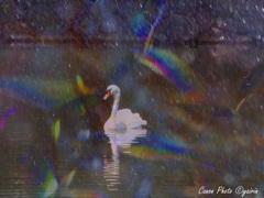 恋する白鳥