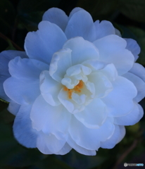 陰のある花