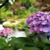 クラシカル 紫陽花