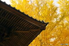 西連寺 黄金色の銀杏