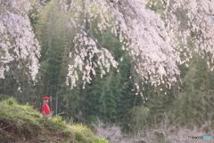 上発知の地蔵桜