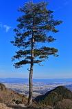 家康が一休みした(かもしれない)松の木