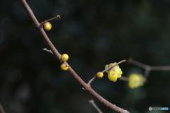 蝋梅ちらほら咲き