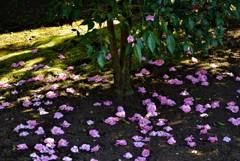 散りてなお、地に咲き彩る