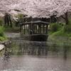 伏見「十石舟と桜」