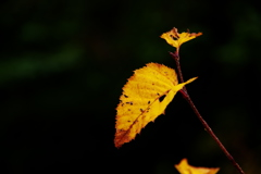 一輪の紅葉