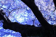 桜 2018 ②