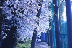 桜 2018 ④