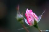 待つわ・・・、あなたが花開くまで ♪