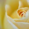 美味しそうな薔薇を目指して・・・♪