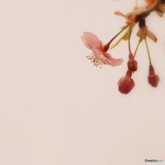 河津桜、開花しましたよ~♪