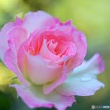 薔薇といえば・・・