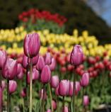 色とりどりのチューリップが咲き乱れる花園