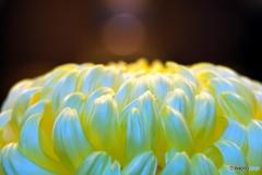 光輝く黄色の花弁 ★