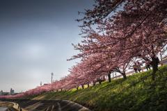河津桜は見ごろ 1