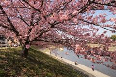 河津桜は見ごろ 3
