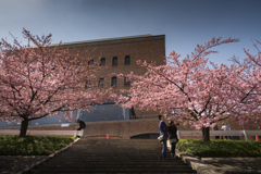 河津桜は見ごろ 2