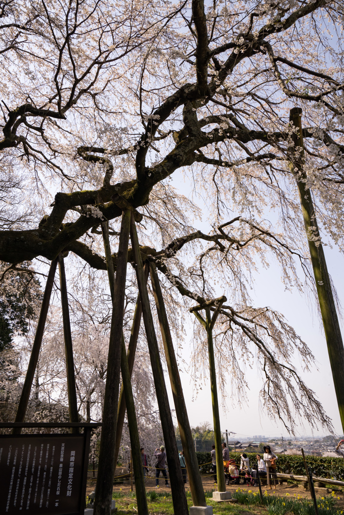 枝垂れ桜 2