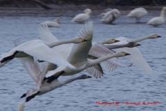 最上川スワンパークの白鳥さん