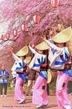 仙台の桜と阿波踊り