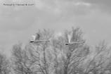 最上川スワンパークの白鳥さん達