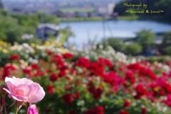 東沢バラ公園 2017.6.17