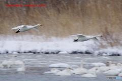 最上川スワンパークの白鳥さん 3