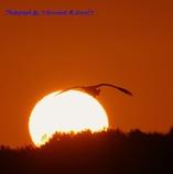 夕日から、やって来る白鳥さん
