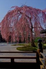 高台寺 枝垂桜