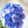 自宅庭の紫陽花④