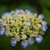 自宅庭の紫陽花③