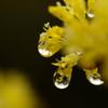 春雨<山茱萸>