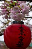 閻魔様の桜