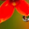 春の涙<カランコエ>