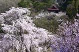 山村の桜<赤和観音>
