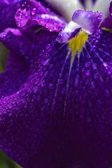 雨に濡れて咲く菖蒲ーⅡ