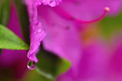 花の涙<ツツジ>