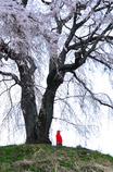 桜とお地蔵さん<上発知>