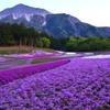 夕方の芝桜の丘