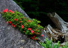 渓流に咲く岩躑躅ーⅤ